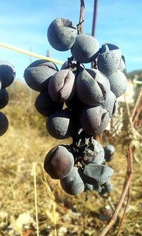 Dried, Black, Grapes, Vine, Autumn, Plant
