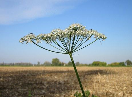 Heracleum Sphondylium, Eltrot, Hogweed, Common Hogweed