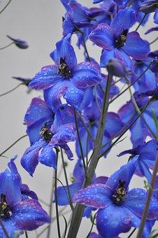 Larkspur, Blue, Flower, Close Up