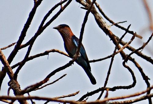 Indian Roller, Coracia Bengalensis, India, Bird, Fly