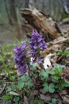 Hollow Corydalis, Forest, Spring, Flower, Nature