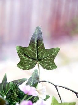 Ivy, Leaves, Green, Nature, Plant, Decoration, Floral