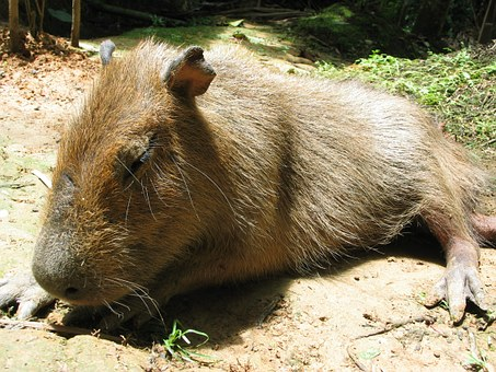 Capybara, Jungle, Peru, Sleeping, America, Animal