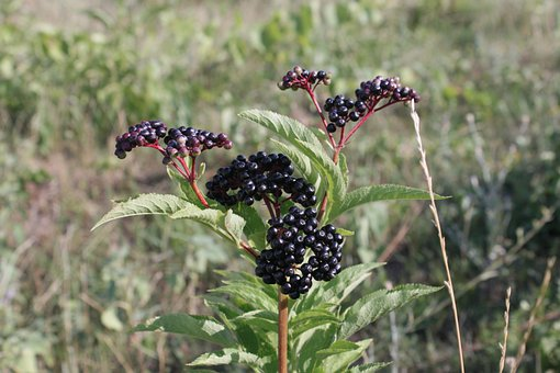 Berries, Black, Ebulus, Ripe, Sambucus, Fruit, Plants