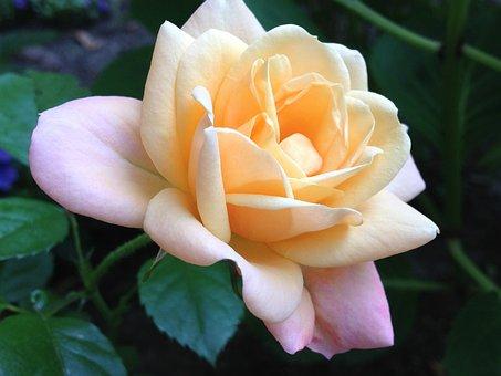 Rose, Blossom, Garden, Romantic, Pastel Shadings