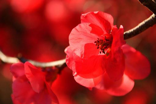 Japanese Flowering Crabapple, Winter, Sun, Nature