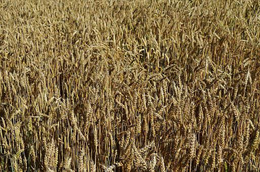 Wheat, Harvest, Bread, Fief, Field, The Cultivation Of