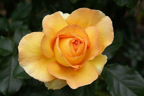 Rose, Yellow, Flower, Nature, Bloom, Beautiful, Macro