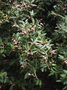 Ilex, Acorns, Tree, Fruits, Leaves, Stone Oak