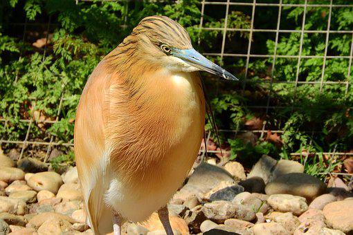 Ardeola Ralloides, Heron, The Prague Zoo