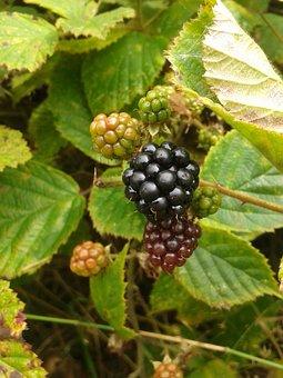 Blackberry, Berries, Fruit, Bush, Blackberries