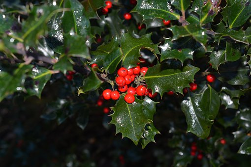 Holly, Ilex, Berries, Red, Plant, Fruits