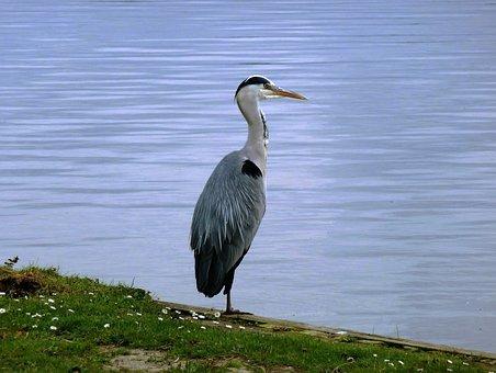 Bird, Blue Heron, Babu, Feathers, Ditch