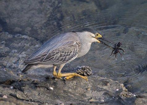 Heron, Crab, Bird, Wildlife, Beak, Nature, Mangroves
