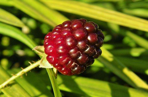 Blackberry, Blackberry Bush, Berry, Blackberries