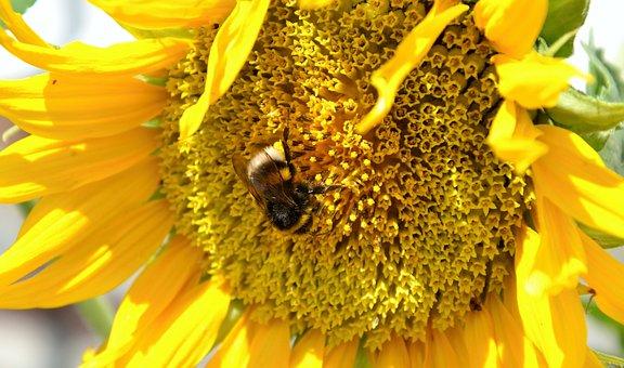 Sunflower, Hummel, Summer, Insect, Blossom, Bloom