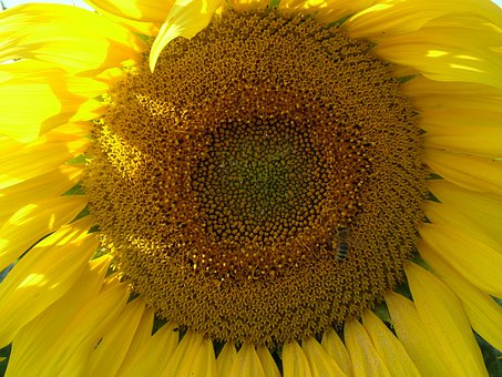 Sunflower, Flower, Blossom, Bloom, Close Up, Yellow