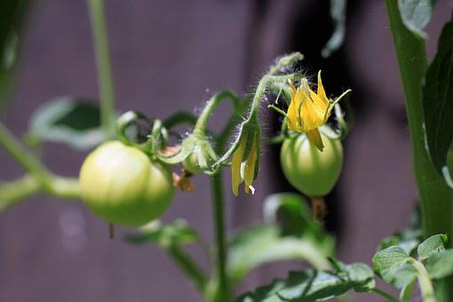 Tomato, Flower, Blurry Background, Vegetable, Natural