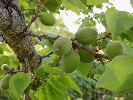Apricot, Tree, Garden, Spring, Branch, Orchard, Unripe