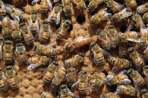 Queen Bee, Beehive, Bee, Queen, Brood, Beekeeping