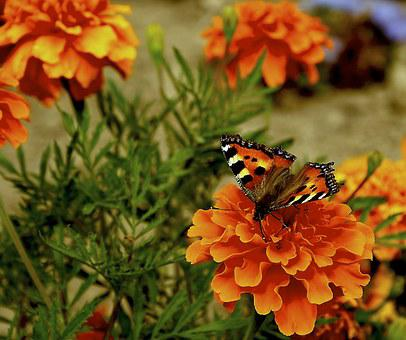 Butterfly, Flowers, Orange Flowers, Plants, Nature