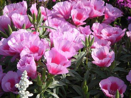 Pink, Azaleas, Chalices, Bot Garden Munich