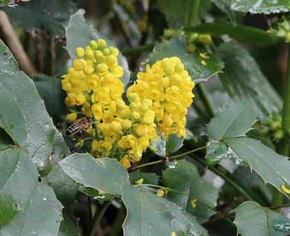 Holly, Ilex, Winter Berries, Christdorn, Tube Mandrel
