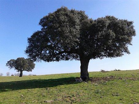 Encina, Tree, Cipérez