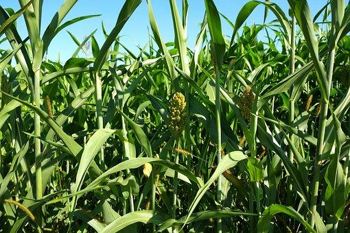 Cornfield, Corn, Field, Agriculture, Plant