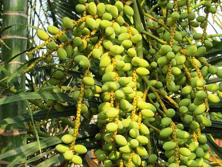 Date Palm, Palm Tree, Phoenix Dactylifera, Dates