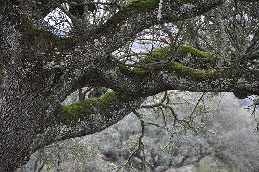 Encina, Autumn, Tree