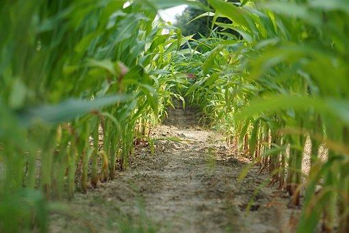 Cornfield, Corn, Field, Landscape, Agriculture, Arable