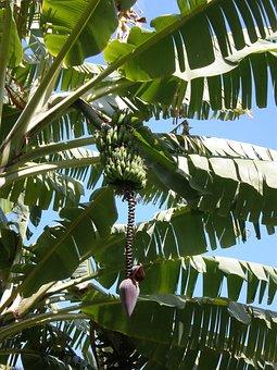 Banana, Flower, Unripe, Fruit, Madeira, Portugal, Tree