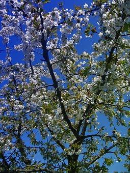 Cherry Tree, Blossom, Bloom, Flowers, Sky, Clouds