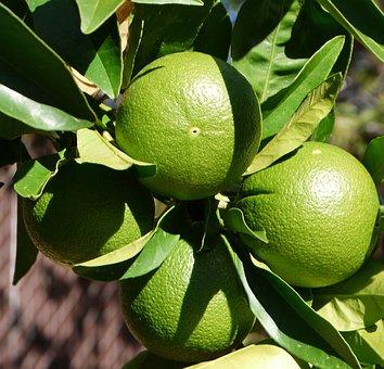 Oranges, Greenery, Fruits, Foods, Edible, Unripe