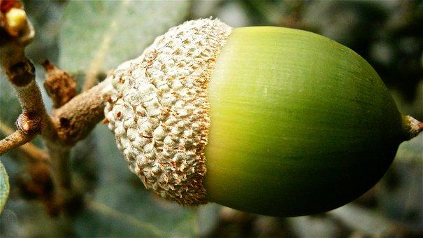 Fruit, Acorn, Encina, Tree, Vegetable Nature