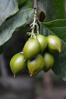 Plum, Dubai Plum, Green Fruit, Fruit, Unripe Fruit