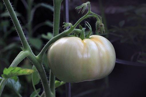 Tomato, Food, Nutrition, Ripening, Plant, Garden