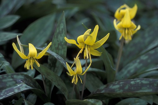 Lys, Yellow, Blooming Flowers, Gray-green Leaves