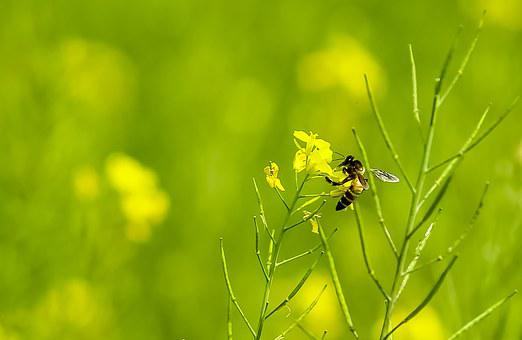 Grass, Bee, Nature, Insect, Summer, Green, Yellow