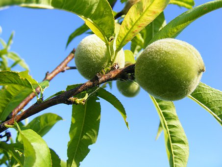 Peaches, Green, Unripe, Fruits, Prunus Persica