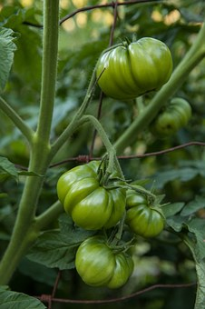 Tomatoes, Vegetable, Healthy, Food, Green, Garden