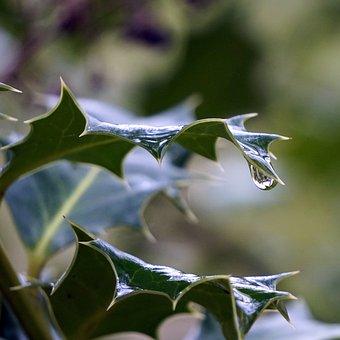 Holly, Leaves, Encina, Drop, Water, Thorns, Macro