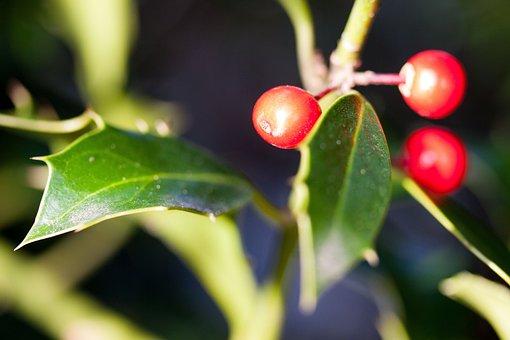Holly, Ilex, Winter Berries, Berries, Christdorn