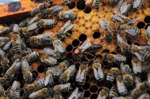 Queen Bee, Bees, Hive, Honey Production, Queen, Beehive