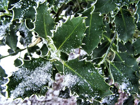 Ilex, Hoarfrost, Winter, Cold, Green