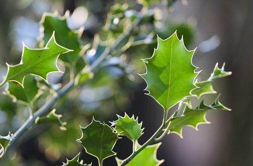 Ilex, Leaves, Spur, Holly, Spiny, Prickly, Bush, Green