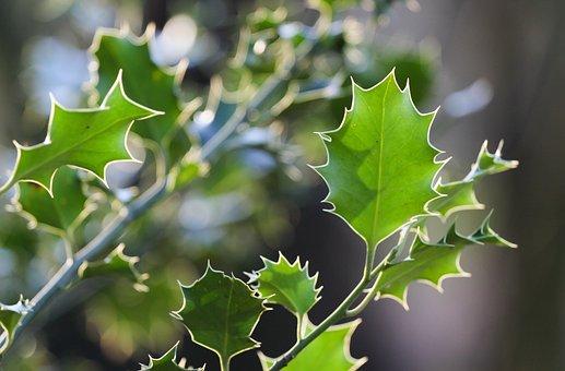 Ilex, Leaves, Spur, Holly, Spiny, Prickly, Bush, Green