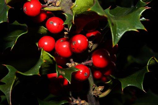 Ilex, Holly, Berry Red, Mistletoe, Close, Romance