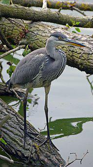 Grey Heron, Juvenile Grey Heron, Wildlife, Wild, Nature